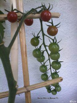 Chicco Rosso F1 tomato.