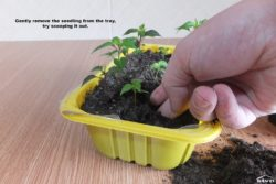 Gently remove the seedling from the tray.
