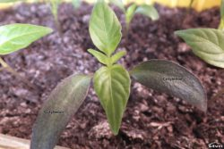 Pepper seedling.