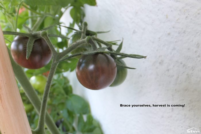 Ripened tomatoes on the DIY Tomtato