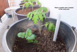 Potato and tomato in pot.