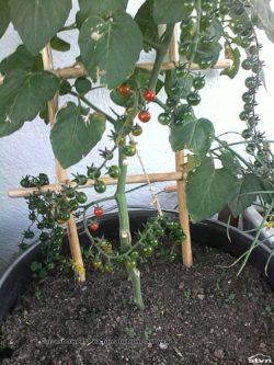 Currant Sweet Pea tomato.