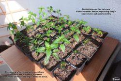 Pepper seedlings in the sun