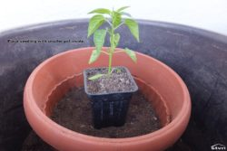 Place seedling with smaller pot inside.