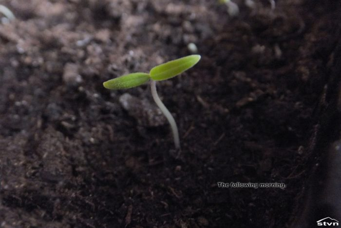 The seedling grows.