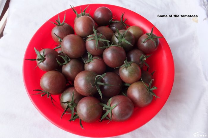 Tomatoes grown on the Pomato.