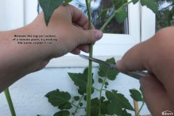 Remove the top of a tomato plant.