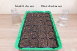 Watered with willow water and stale tap water.