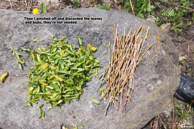 Then I pinched off and discarded the leaves and buds, they're not needed.